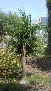 outdoor u0026 garden rustic landscape with robellini palm tree plus