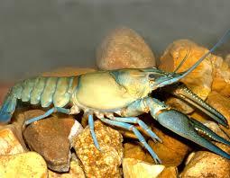 longpincered crayfish long pincered crayfish mdc discover nature