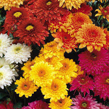 messages of chrysanthemums