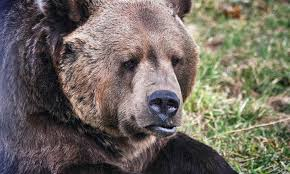 Ozzy The Grizzly Bear Picks The Eagles To Win The Super Bowl Local - zoomontana zoomontana groupon