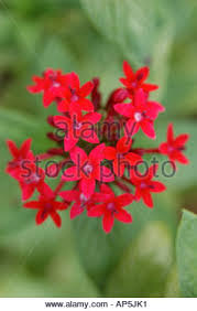Pentas Flower Star Cluster Pentas Stock Photos U0026 Star Cluster Pentas Stock