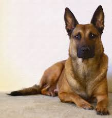 belgian sheepdog vs belgian shepherd 495 best belgian malinois dutch shepherd images on pinterest