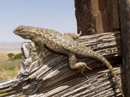 Seeking Lizard Field Herp Forum View Topic La Museum Seeking Photo