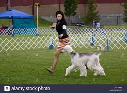 afghan hound saddle judged stock photos u0026 judged stock images alamy