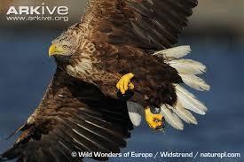 stellers sea eagle wallpapers steller u0027s sea eagle videos photos and facts haliaeetus