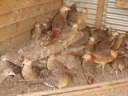 pheasants horses and livestock for sale in the uk and ireland