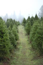 half moon bay christmas tree farm part 42 christmas trees
