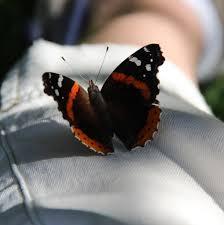admiral butterfly nature garden