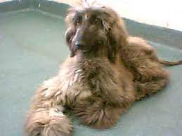 afghan hound puppies ohio a furry friend miami fl beautiful afghan hound dumped at shelter