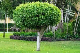 ornamental pruning island tree service