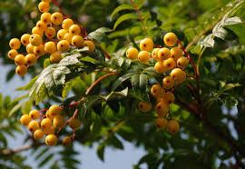 plants with berries lisa cox garden designs blog