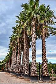 Washingtonia Robusta Palm Trees Mexican Fan Palm From Palm Farm