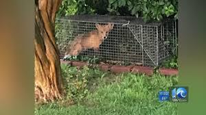 va beach man says foxes are breeding in neighbor u0027s unkempt yard