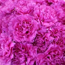 Wholesale Carnations Tiepolo Fuschia Carnations