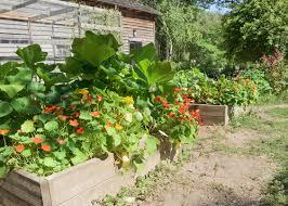 les fleurs comestibles en cuisine cuisine florale comment cultiver les fleurs comestibles jardin bio