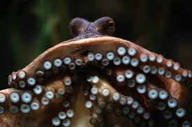 researchers discover how octopus suckers do not grab onto the