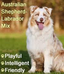 australian shepherd yellow lab mix the aussiedor u2013 australian shepherd labrador puppies aussiedoodle