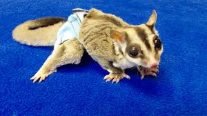 Gliders For Sale Sugar Glider Diaper 2 Pack From Pocket Pets
