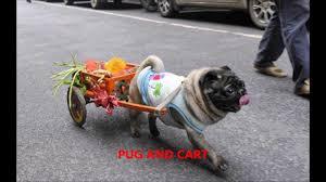 pugs in fancy dress costumes youtube
