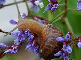 Types Of Garden Snails Cornu Aspersum Wikipedia