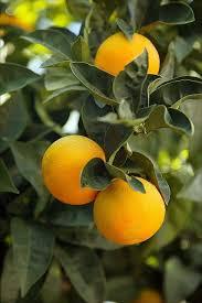 best 25 grapefruit tree ideas on grapefruit plant