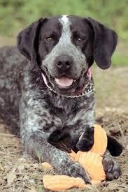 bluetick coonhound nz sweetwater tn bluetick coonhound pointer mix meet stella a