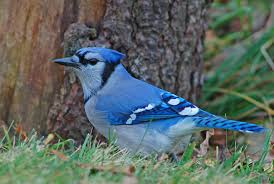 Backyard Song Blue Jay Song Of America Birdseed