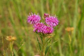 native illinois plants pollinator buffet grow native
