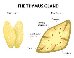 Structural Features Of White Blood Cells Thymus Definition Functions U0026 Location Video U0026 Lesson