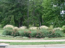miscanthus adagio is a wonderful companion plant to knockout