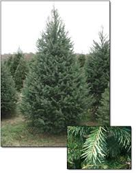 douglas fir trees farms