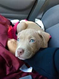 american pitbull terrier puppies louisiana photo cred pittiefullsarah pibbles pinterest pit bull