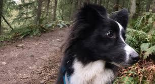australian shepherd ultra marathon tips for trail running with your dog trail runner magazine