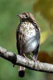 79 best nuthatch u0026 thrush images on pinterest beautiful birds