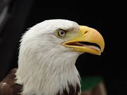 free eagle images pictures and royalty free stock photos