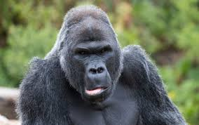 world gorilla day 7 amazing facts you may not know across