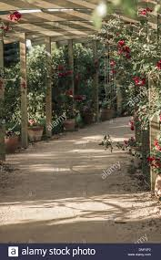 wooden pergola and climbing roses in a botanical park stock photo