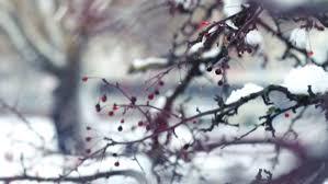 1950s united states leaves on tree leaves on tree in winter