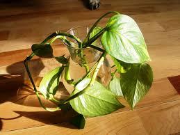 Home Decorating Plants Pothos House Plants Beautiful Pothos Plant Ideas U2013 Best Home
