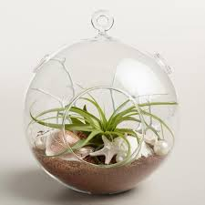 hanging live plant glass terrarium with starfish world market