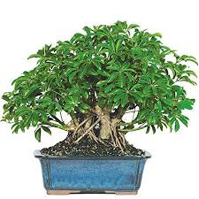 best bonsai tree to buy for your home or gift to your loved ones