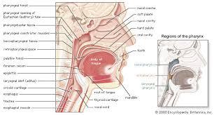 Anatomy And Physiology Of Speech Pharynx Anatomy Britannica Com