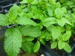 amazon com mojito mint live plant mentha x villosa patio