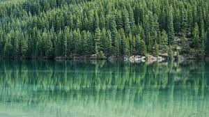 free photo pine trees pine tree water lake free image on