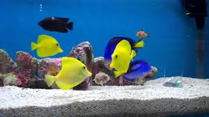 types of aquarium marine fish feeding reef aquarium yellow tang regal tang youtube