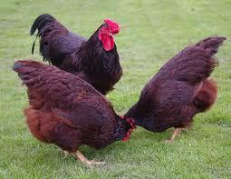 best backyard chicken top 10 best backyard chicken breeds backyard chickens
