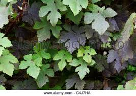 vitis vinifera purpurea stock photo royalty free image 21327409