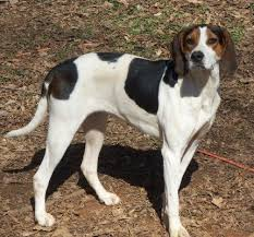 bluetick coonhound rescue georgia adopt chortle on virginia home and for her