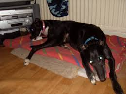 staffy x australian shepherd dogpages forums u003e does your staffie get on with other dogs