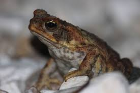 How To Get Rid Of Cane Toads In Backyard Cane Toad Kimberley Toadbusters Alarm Raised After Cane Toadlike